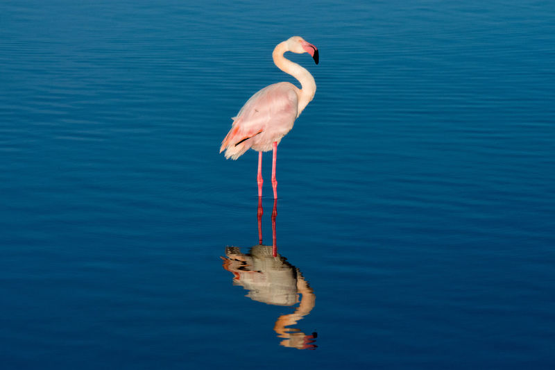 The reflection of a flamingo on the sea. Water Animal Themes Animal Animal Wildlife Animals In The Wild Bird Vertebrate Day Reflection Flamingo Nature Outdoors Lake Salina, Ks Sicily Italy
