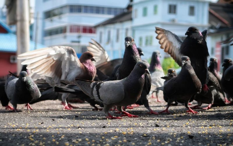 Town Pigeon Pigeon Townbirds Birds Of EyeEm  Birds Animal Outdoors No People Close-up Animal Themes