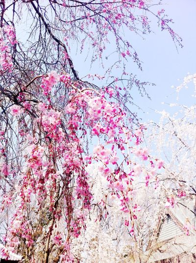 Branch Tree Nature Flower Cherry Blossom Japan