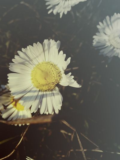 Flower Flower Head Beauty In Nature Nature Fragility Close-up Environment Springtime Plant Daisy No People Beauty Outdoors Pollen Concentric Freshness Petal Day