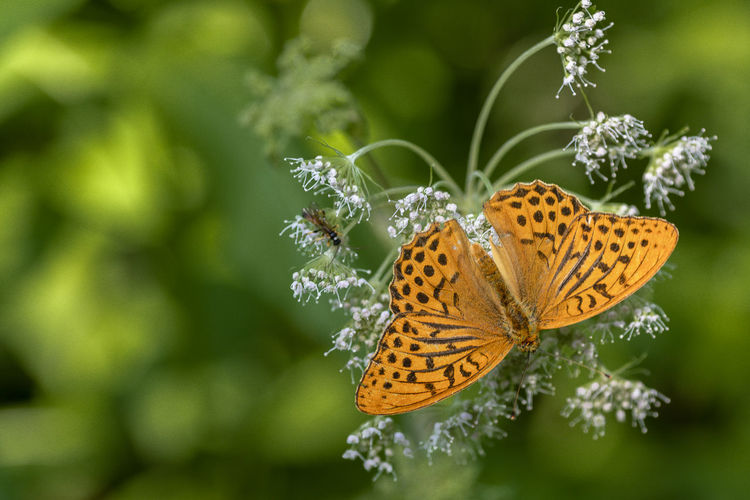 Argynnis Paphia Großer Perlmutterfalter Animal Animal Themes Animal Wildlife Animal Wing Animals In The Wild Beauty In Nature Butterfly - Insect Close-up Flower Focus On Foreground Fragility Insect Invertebrate Nature No People One Animal Outdoors Vulnerability