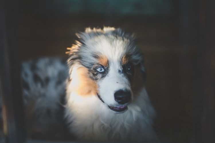 Animal Themes Close-up Day Dog Domestic Animals Focus On Foreground Indoors  Looking At Camera Mammal No People One Animal Pets Portrait