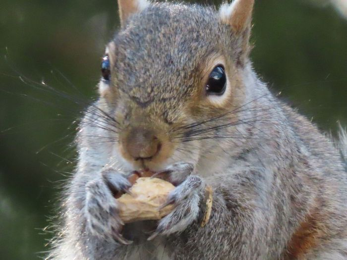 EyeEm selects squirrel closeup eating a peanut selective focus animal themes EyeEm nature lover EyeEm Selects Animal Wildlife One Animal Rodent Looking At Camera No People