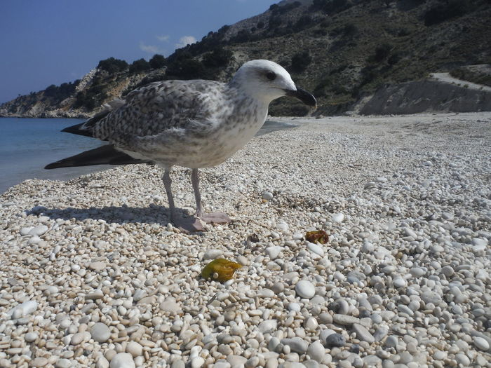 Close-up of seagull perching on sand at beach against sky