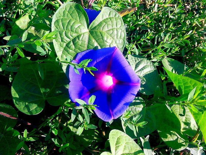 Convolvulus Bağ Sarmaşığı Taking Photos Wild Vote Yabancıot Flower çiçek Yeşil MadımakPolygonum Plantography Ornamentalplants Susbitkileri