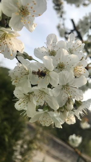 Flower Fragility White Color Blossom Beauty In Nature Tree Apple Blossom Growth Freshness Apple Tree Nature Petal Branch Springtime Orchard Botany Twig Flower Head Close-up Stamen Bee