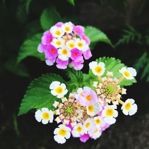 Flower Freshness Petal Multi Colored Fragility Lantana Camara Plant Beauty In Nature No People Growth Flower Head Day Blooming Pink Color Nature Close-up Outdoors