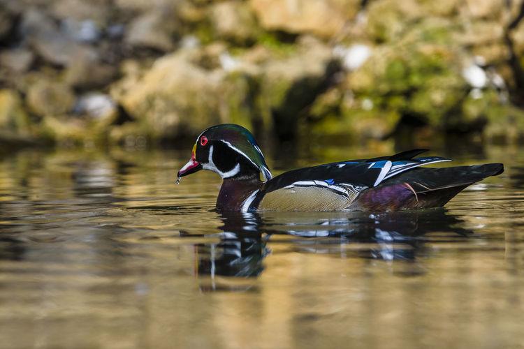 Vogelpark Heiligenkirchen Detmold Tiere Animals Tageslicht Ente Duck Bunt Colorful Wasser