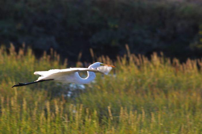 Animal Themes Animal Wildlife Animals In The Wild Beak Beauty In Nature Bird Crane - Bird Day Egret Flying Focus On Foreground Grass Great Egret Heron Lake Nature No People One Animal Outdoors Plant Spread Wings Swan Water White Color EyeEmNewHere