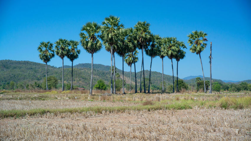 Agriculture Beauty In Nature Blue Branch Clear Sky Day Grove Growth Landscape Nature Nature Reserve No People Outdoors Palm Tree Rural Scene Scenics Sky Social Issues Tree