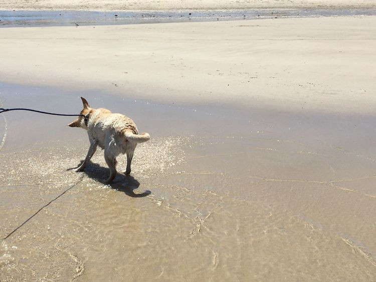 Shake Beach Sand Dog One Animal Domestic Animals Pets Shore Animal Themes Water Mammal Nature Outdoors Dogshaking Walking Wet Day Wave No People Miltonbiscuit
