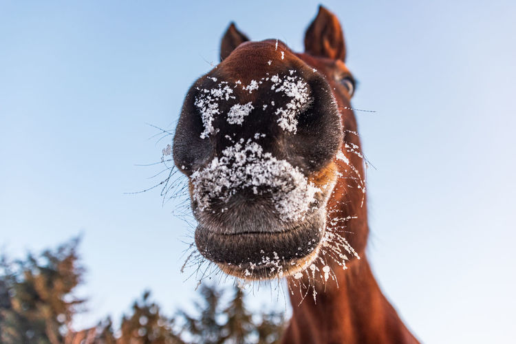 A horse's head seen from below. the horse's mouth is snow-covered, ice and water droplets.
