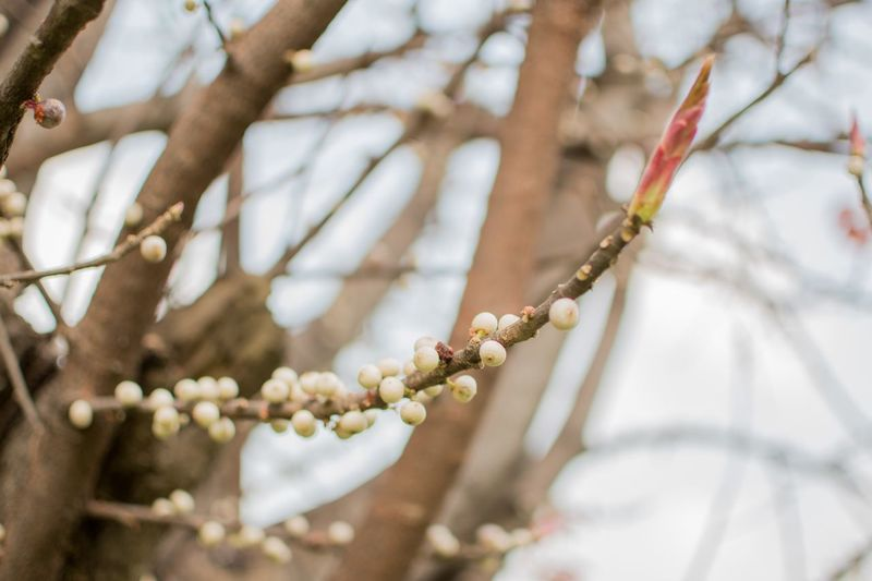 EyeEm Selects Plant Branch Close-up Focus On Foreground Tree No People Selective Focus Necklace Day Low Angle View Growth Nature Jewelry Flowering Plant Outdoors Flower Beauty In Nature White Color Bead Twig