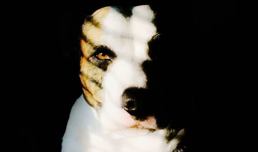 Seren in the Sunlight Dog Rescue Dog Bull Breed American Bulldog Love Cute American Bull