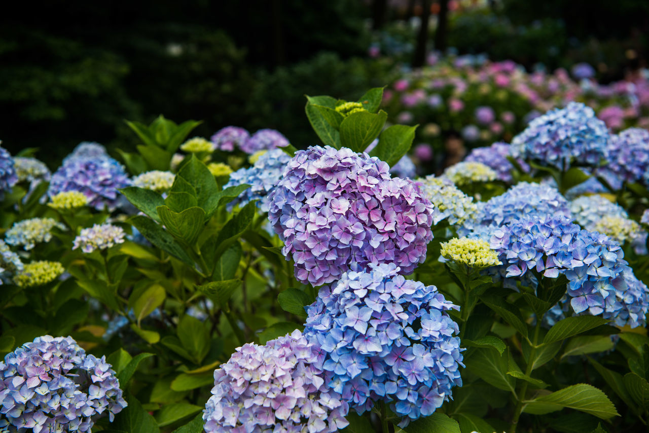 growth, beauty in nature, plant, leaf, nature, freshness, hydrangea, green color, purple, outdoors, no people, fragility, day, flower, focus on foreground, lilac, sunlight, close-up, blooming, flower head, lantana camara