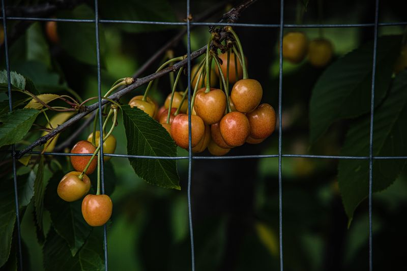 Cherry tree Cherry Tree Food And Drink Healthy Eating Food Fruit Freshness Wellbeing Plant Close-up No People Focus On Foreground Leaf Hanging Green Color Growth Plant Part Nature Tree Outdoors