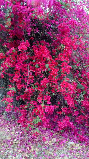 Flower Red Pink Color Full Frame Freshness Plant Nature Beauty In Nature Backgrounds Leafs 🍃 Freshness Growth Botony Flowers,Plants & Garden Petal Blooming Happiness