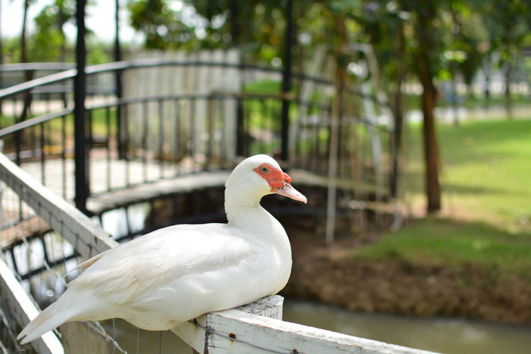 Bird Vertebrate Animal Themes Animal Animals In The Wild One Animal Animal Wildlife Focus On Foreground Day Nature No People Tree Close-up Railing Poultry Duck Side View Outdoors White Color Plant