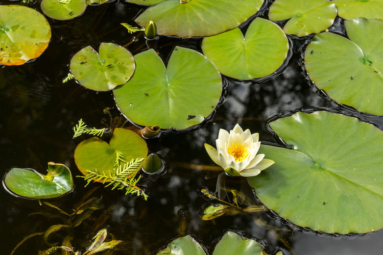 Close-up of lotus water lily leaves in pond