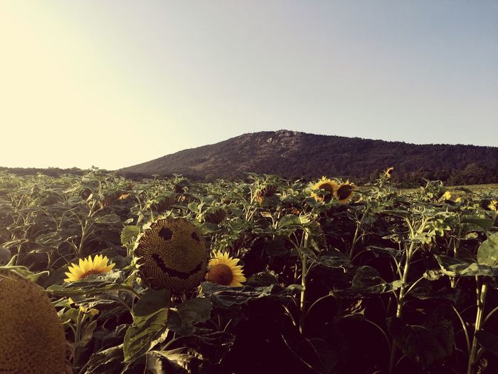 Smile Sunflower Mountain