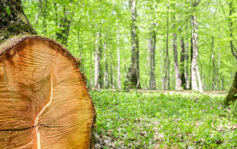 freshly cut tree in the spring forest Freshly Cut Tree In The Spring Forest Tree Forest Plant Land Nature Trunk Tree Trunk WoodLand Green Color Landscape Day Grass No People Outdoors Environment Non-urban Scene Brown Beauty In Nature Growth Focus On Foreground