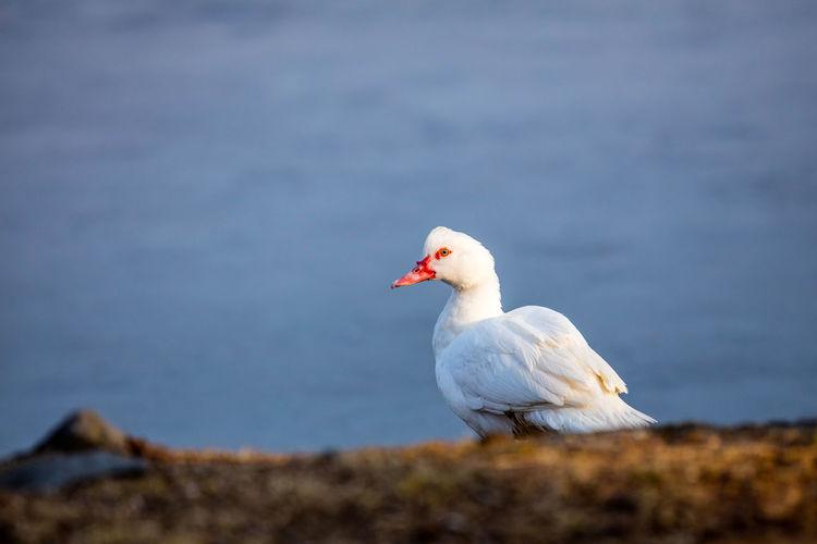 Bird Danube Day Duck One Person Oroszphotography Bestoftheday EyeEm Best Shots rackeve Best Of EyeEm