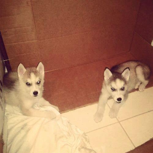 Dogs Huskies Husky Siberian Husky I LiKe It ❤??
