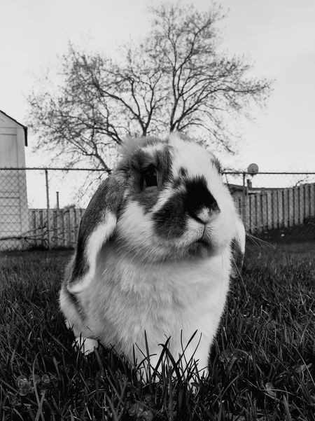Pets Corner Feirce  Bunny  Monochrome Pet Portraits