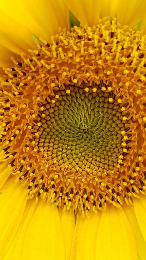 Sunflower Inner Circle Flower Yellow Petal Flower Head Fragility Sunflower Close-up Beauty In Nature No People Freshness Growth Plant Nature Full Frame Backgrounds Day Yellow Close-up Outdoors