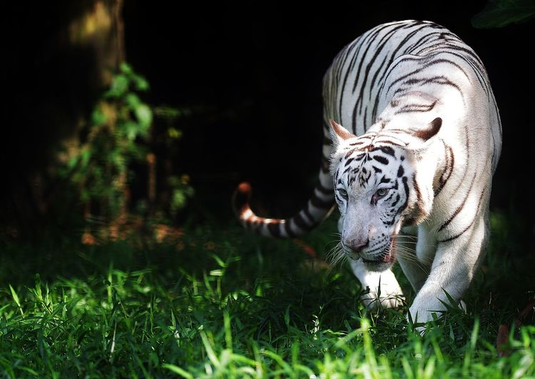 Close-up of white tiger walking in forest