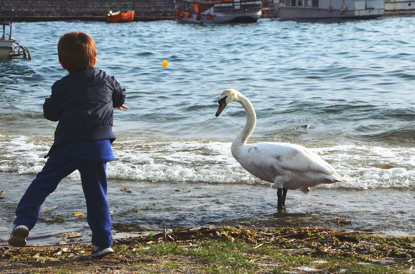 Boy Kid Child Throw Throwing  Food Feeding  Swan Lake Bird Water Ohrid Lake Macedonia Animal Themes Animal_collection Animalphotography Animals Animals And Children Animal Photography Animal Human Vs Nature Human And Nature Animal And Human Lakeshore Your Ticket To Europe