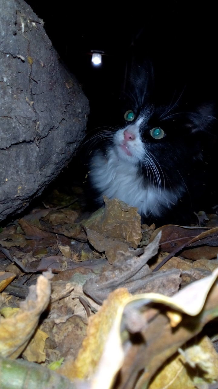 domestic cat, animal themes, one animal, pets, mammal, domestic animals, feline, looking at camera, no people, portrait, leaf, outdoors, night, nature, close-up