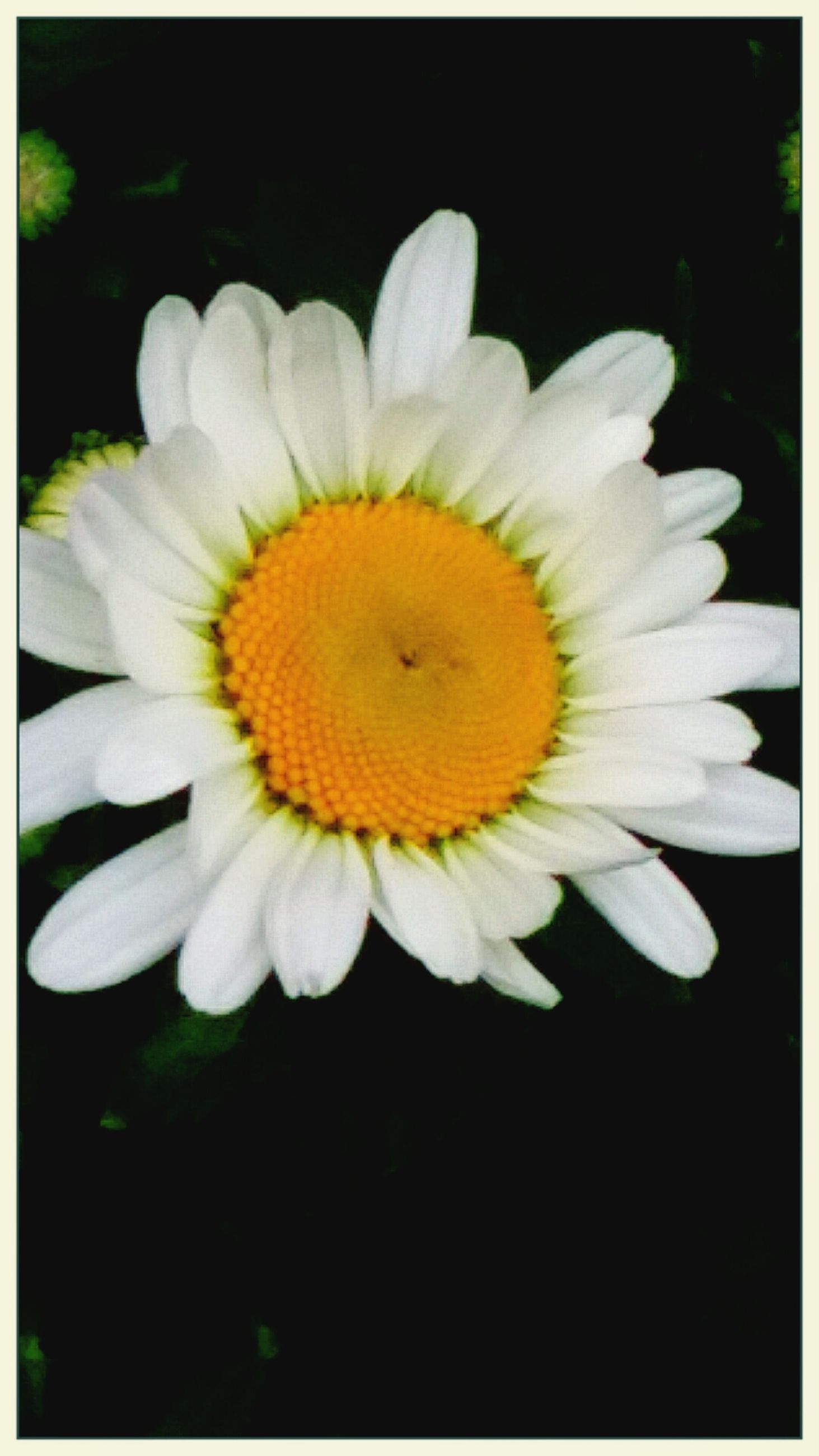 flower, petal, freshness, flower head, fragility, growth, single flower, yellow, beauty in nature, close-up, pollen, transfer print, white color, nature, blooming, daisy, auto post production filter, stamen, in bloom, plant