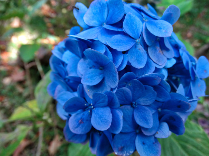Flowers in garden. Plant Flower Flowering Plant Blue Close-up Freshness Petal Vulnerability  Beauty In Nature Fragility Nature Growth Inflorescence Focus On Foreground Hydrangea Day Flower Head No People High Angle View Purple Bunch Of Flowers Springtime