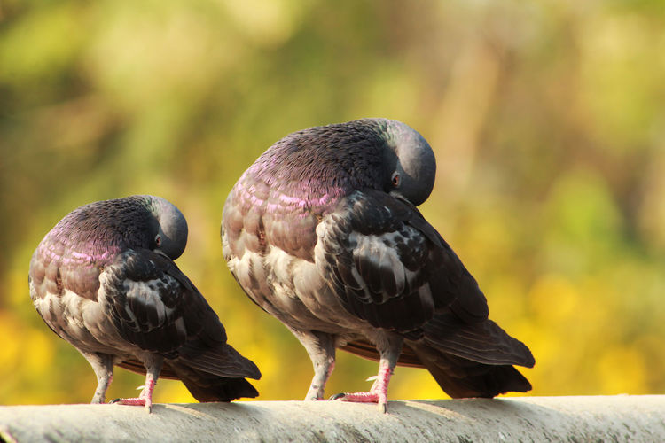 pigeon resting over the roof Bird Animal Animal Themes Vertebrate Animal Wildlife Group Of Animals Focus On Foreground Animals In The Wild Perching Day Two Animals Close-up No People Nature Full Length Outdoors Pigeon Black Color Beak Sunlight Animal Family Care