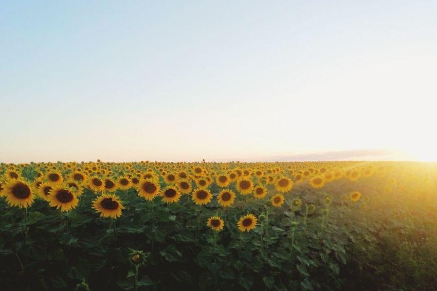 Sunflowers🌻 Landscape Rostov-na-Donu Russia Sunset