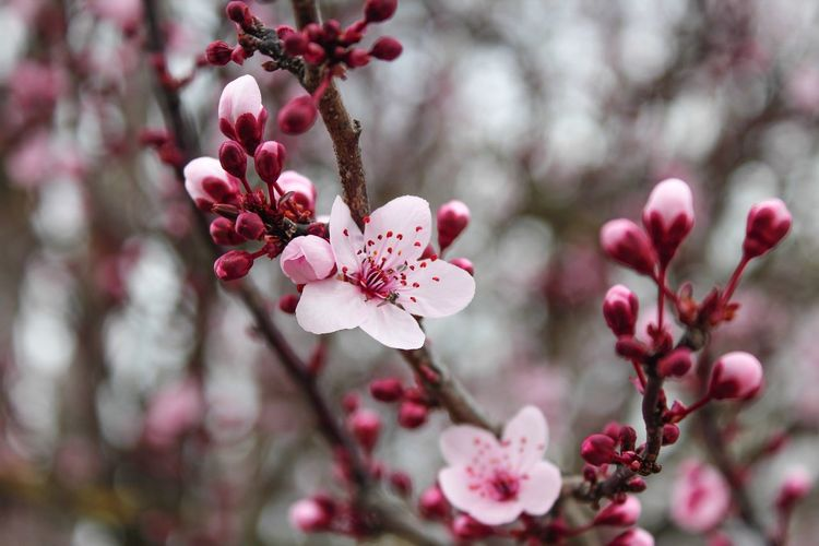 Growth Nature Flower Tree Close-up Freshness Beauty In Nature Petal Twig Fragility Outdoors Blossom Day Springtime Branch No People Cherry Tree Flower Head Plum Blossom Millennial Pink
