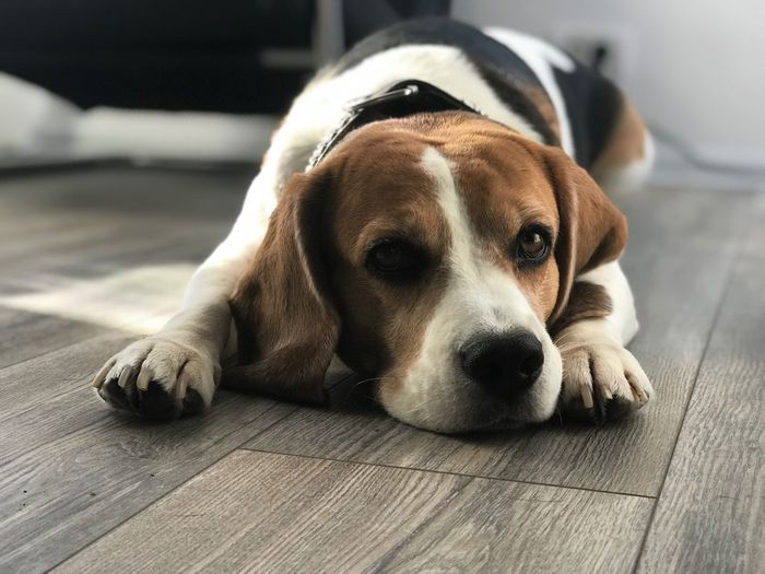 Beagle Beagle Beaglelovers Dog Posing Canine Dog One Animal Pets Domestic Animal Themes Domestic Animals Animal Relaxation Resting Looking At Camera Close-up Lying Down No People Portrait Focus On Foreground