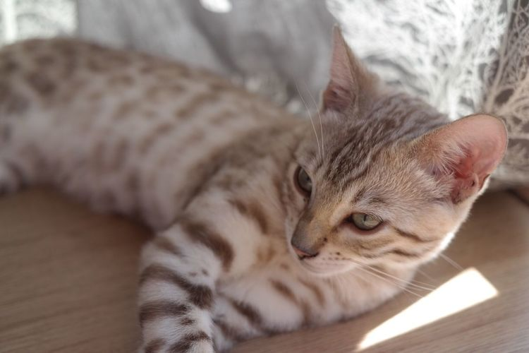.::Bengal kitten::. Pets Domestic Animals Domestic Cat One Animal Cat Relaxation Mammal Feline Close-up Resting Lying Down Whisker Bengal Cat First Eyeem Photo