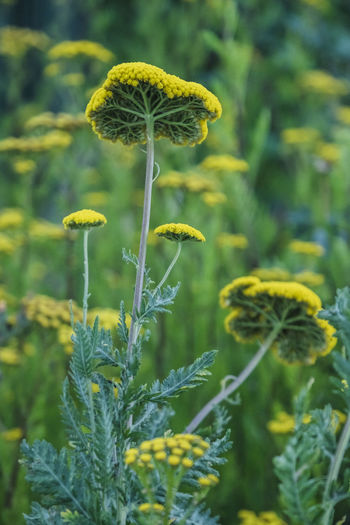 Plant Flower Growth Fragility Vulnerability  Beauty In Nature Flowering Plant Close-up Freshness Yellow Nature Flower Head Inflorescence Green Color No People Focus On Foreground Plant Stem Day Land Selective Focus Outdoors