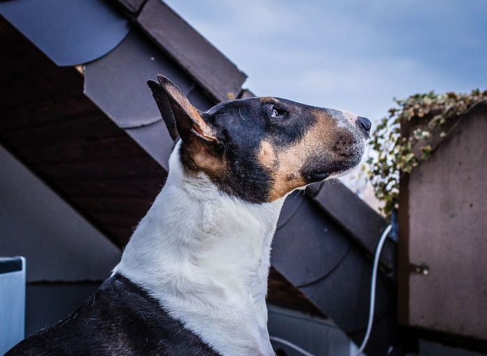 Animal Themes Bullterrier Bullylove Canoneos Close-up Dog Dog Love Domestic Animals FlexoGrafie Sigma30mm F1.4art
