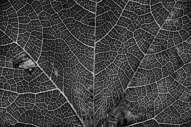NATURE ID EyeEm Nature Lover Backgrounds Blackandwhite Close-up Complexity Detail Dry Extreme Close-up Fragility Full Frame Leaf Leaf Vein Leaves Lines And Shapes Macro Natural Pattern Nature Nature_collection No People Outdoors Pattern Plant Plant Part Textured  Vulnerability