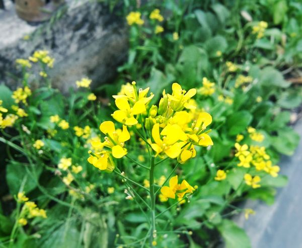 Paint The Town Yellow Growth Yellow Plant Part Beauty In Nature Outdoors Flower Plant Nature Multi Colored Green Color Fragility Rural Scene Day Leaf No People Flower Head Close-up Freshness