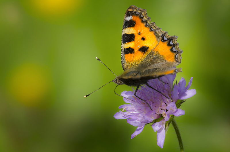 Animal Themes Insect Animal Wildlife Invertebrate Animal One Animal Animals In The Wild Flower Flowering Plant Beauty In Nature Animal Wing Plant Butterfly - Insect Close-up Fragility Vulnerability  Petal Focus On Foreground Nature No People Flower Head Pollination Butterfly Outdoors Purple