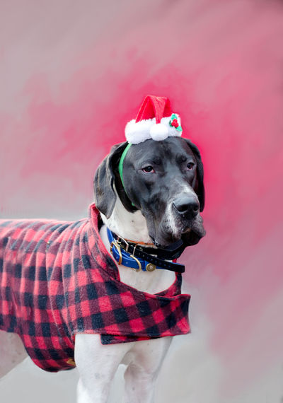 great dane wears a plaid jacket and cute santa hat during the reindog celebration in st joseph mi