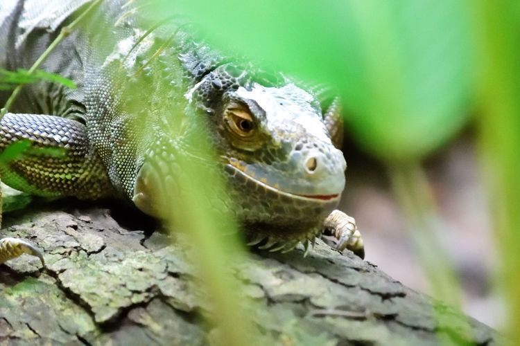 Wildlife and forestry Animal Animal Body Part Animal Eye Animal Head  Animal Scale Animal Themes Animal Wildlife Animals In The Wild Bearded Dragon Close-up Day Focus On Foreground Green Color Iguana Lizard Nature No People One Animal Outdoors Reptile Selective Focus Solid Vertebrate