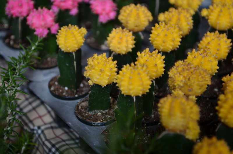 Flowering Plant Plant Flower Beauty In Nature Vulnerability  Fragility Freshness Growth Yellow Nature Close-up Selective Focus Day No People Flower Head Inflorescence Petal Potted Plant Outdoors High Angle View Flower Pot