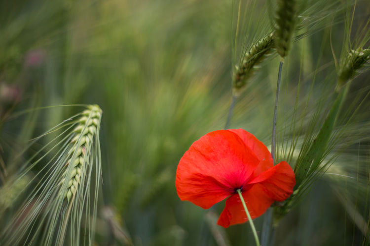 Feldblume Mohnblume Plant Flowering Plant Beauty In Nature Freshness Fragility Close-up Red Flower Head Focus On Foreground Nature No People Poppy Wheat