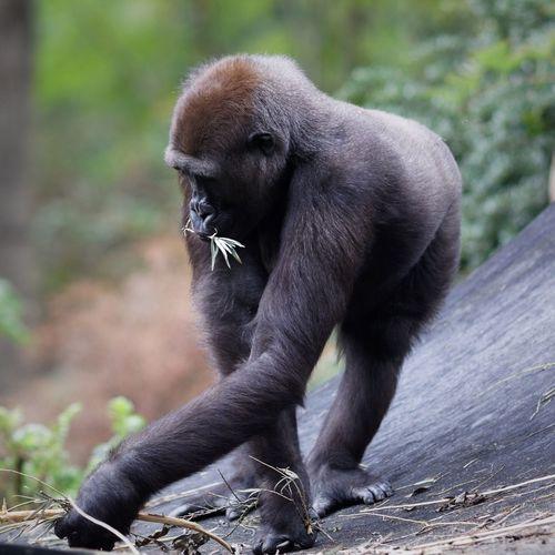 Chimpanzee Zoo One Animal Mammal Primate Ape Vertebrate