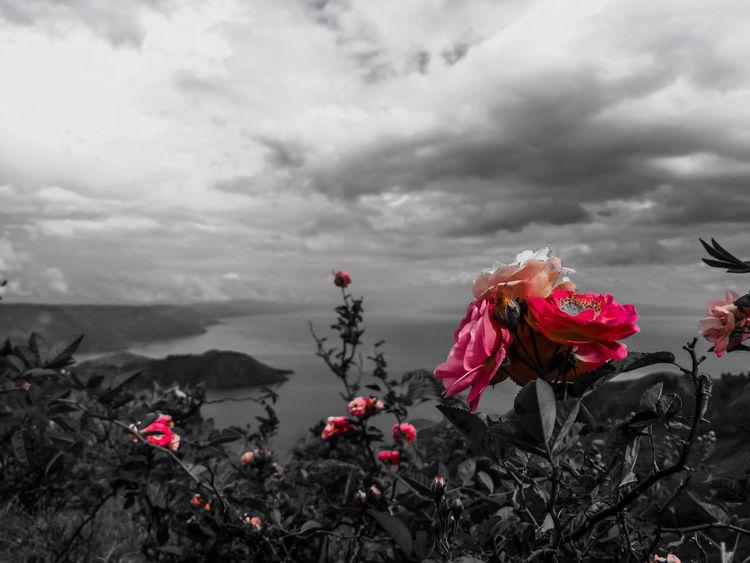 INDONESIA Sumaterautara Indonesia Photography  Island Life Island View  Toba Lake Photooftheday Photographer Village Village Photography Destination Flowers Rose - Flower Rose - Flower Sky Love